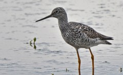 Greater Yellowlegs - High Acres Nature Area - © Dick Horsey - May 03, 2016