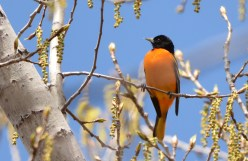 Baltimore Oriole - Cobbs Hill - © Dick Horsey - May 05, 2016