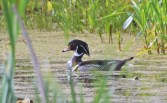 Wood Duck - High Acres Nature Area - © Dick Horsey - May 18, 2016