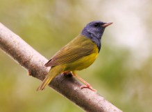 Mourning Warbler - Naples - © Katy Schwingle - May 21, 2016