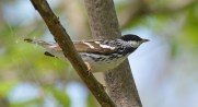Blackpoll Warbler - Lakeview Church Trail - © Dick Horsey - May 24, 2016