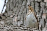 Swainson's Thrush - Firehouse Woods - © Jeanne Verhulst - May 21, 2016