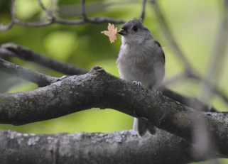 Tufted Titmouse - Durand Eastman Park - © Dick Horsey - Aug 01, 2016