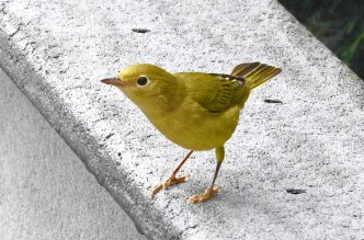 Yellow Warbler - Irondequoit - © Eunice Thein - Aug 13, 2016