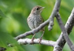 House Wren - Hamlin Beach Park - © Dick Horsey - Aug 19, 2016