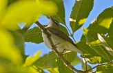 Red-eyed Vireo - Lakeview Church Trail - © Dick Horsey - Aug 22, 2016