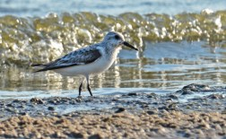 Sanderling - Charlotte Beach - © Dick Horsey - Aug 26, 2016
