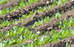 Horned Lark - Church Rd Hamlin - © Dick Horsey - Aug 26, 2016
