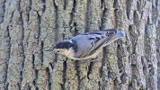White-breasted Nuthatch - Hamlin Beach Park - © Dick Horsey - Aug 26, 2016