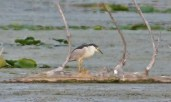 Black-crowned Night Heron - Braddock Bay Salmon Creek - © Nick Kachala - Aug 30, 2016