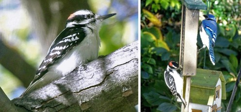 Hairy Woodpecker and Blue Jay - Irondequoit - © Candace Giles - Nov 04, 2016