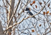 Belted Kingfisher - High Acres Nature Area - © Dick Horsey - Nov 06, 2016