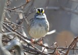 White-throated Sparrow - Whiting Rd Nature Preserve - © Dick Horsey - Nov 12, 2016