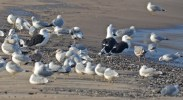 Great Black-backed Gull with Ring-billed and Herring Gulls - Irondequoit Bay Outlet - © Dick Horsey - Dec 13, 2016
