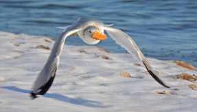 Ring-billed Gull - Irondequoit Bay Outlet - © Dick Horsey - Dec 23, 2016