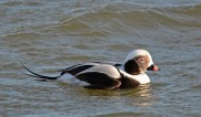 Long-tailed Duck - Irondequoit Bay Outlet - © Dick Horsey - Dec 23, 2016