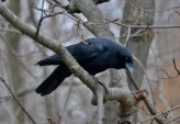 American Crow - Webster - © Peggy Mabb - Jan 02, 2017