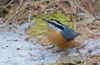Red-breasted Nuthatch - Mendon Ponds - © Dick Horsey - Jan 14, 2017