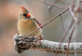 Northern Cardinal - Mendon Ponds - © Dick Horsey - Jan 14, 2017