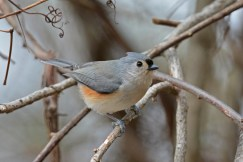 Tufted Titmouse - Mendon Ponds - © Dick Horsey - Jan 14, 2017