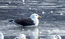Great Black-backed Gull - Irondequoit Bay Outlet - © Candace Giles - Feb 03, 2017