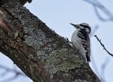 Hairy Woodpecker - Mendon Ponds Park - © Dick Horsey - Feb 06, 2017