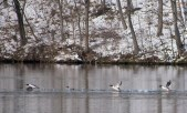 Common Merganser - Cayuga Lake - © Lyndsay Farrar - Feb 10, 2017