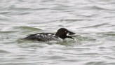 Common Goldeneye - Irondequoit Bay Outlet - © Eunice Thein - Feb 10, 2017