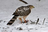 Sharp-shinned Hawk - Webster - © Peggy Mabb - Feb 10, 2017