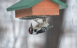 Hairy Woodpecker - Rochester - © Nick Kachala - Feb 12, 2017