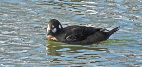 Harlequin Duck (F) - Irondequoit Bay Outlet - © Candace Giles - Feb 14, 2017