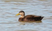 American Black Duck - Irondequoit Bay Outlet - © Dick Horsey - Feb 17, 2017
