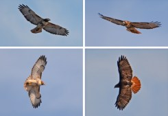 Red-tailed Hawk - Whiting Road Nature Preserve - © Dick Horsey - Feb 18, 2017