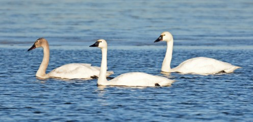 Tundra Swan - South Marina - © Dick Horsey - Feb 19, 2017