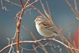 American Tree Sparrow - Irondequoit Bay Outlet - © Dick Horsey - Feb 22, 2017