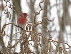 House Finch - Chili - © Scott Coleman - Feb 22, 2017