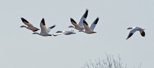 Snow Goose - Hamlin - © Dick Horsey - Feb 27, 2017