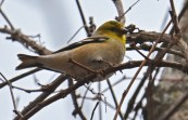 American Goldfinch - Corbett's Glen Park - © Dick Horsey - Feb 28, 2017