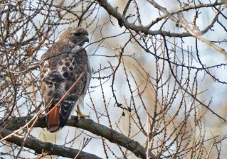 Red-tailed Hawk - Durand Eastman Park - © Dick Horsey - Mar 01, 2017