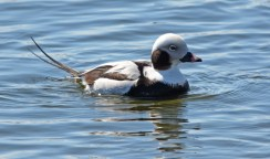 Long-tailed Duck - Irondequoit Bay Outlet - © Dick Horsey - Mar 17, 2017