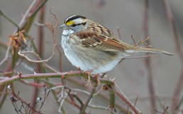 White-throated Sparrow - Whiting Road Nature Preserve - © Dick Horsey - Mar 20, 2017