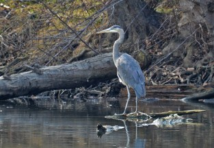 Great Blue Heron - Durand Eastman Park - © Dick Horsey - Apr 03, 2017