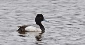 Lesser Scaup - North Ponds Park - © Dick Horsey - Apr 05, 2017