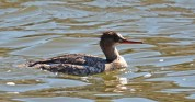 Red-breasted Merganser (F) - Irondequoit Bay Outlet - © Dick Horsey - Apr 08, 2017