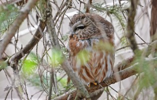 Northern Saw-whet Owl - Owl Woods - © Dick Horsey - Apr 10, 2017