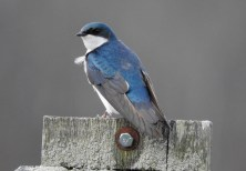 Tree Swallow - Montezuma NWR - © Eunice Thein - Apr 10, 2017