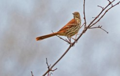 Brown Thrasher - Owl Woods - © Nick Kachala - Apr 15, 2017