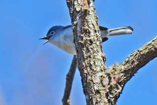Blue-gray Gnatcatcher - Mendon Ponds - © Dick Horsey - Apr 17, 2017
