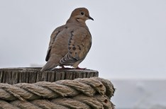 Mourning Dove - LaSalle Landing Park - © Dick Horsey - Apr 20, 2017