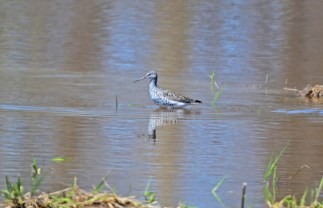 Greater Yellowlegs - Montezuma NWR - © Nick Kachala - Apr 23, 2017